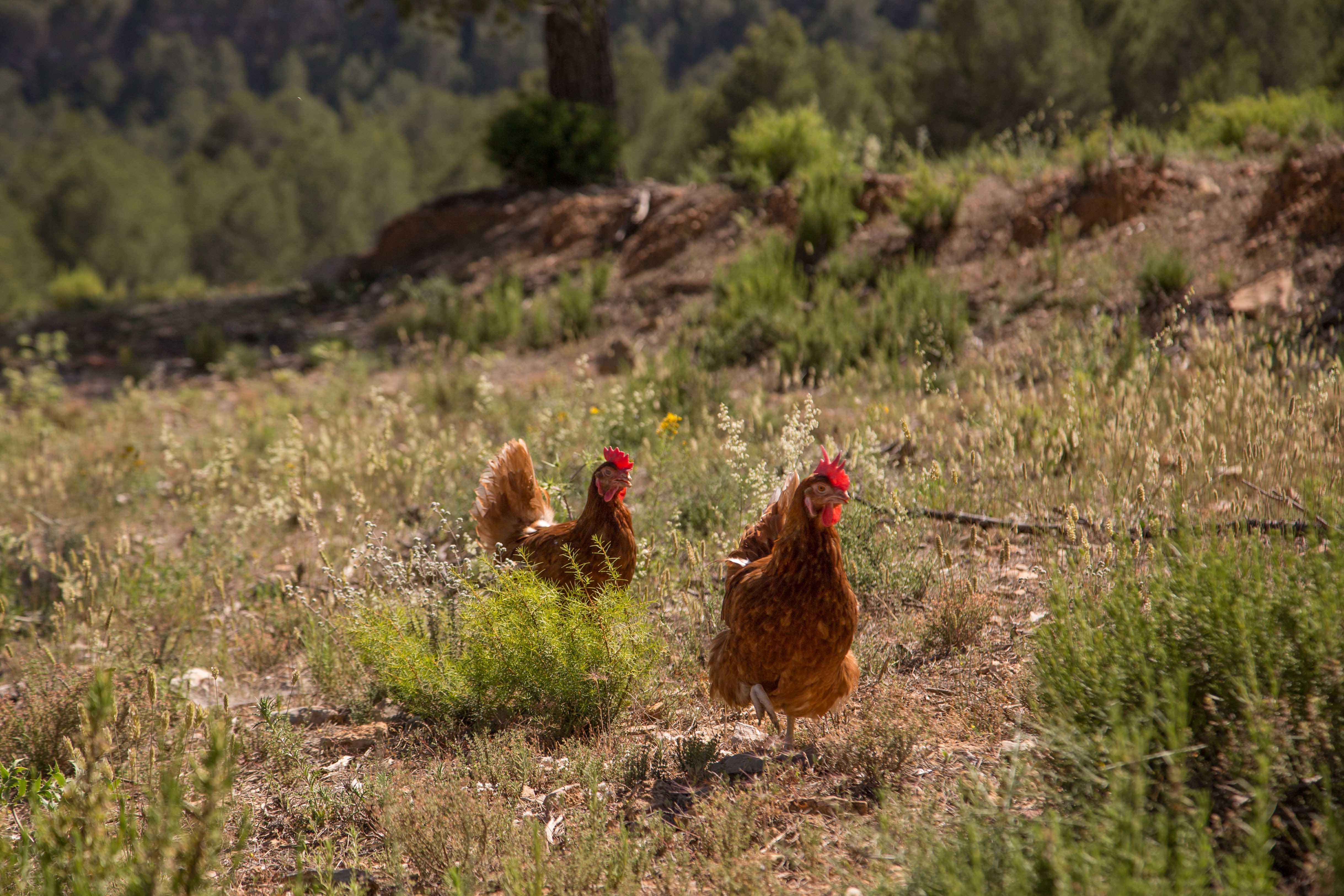 ecological chickens